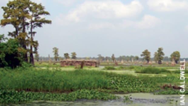 Cypress often grows in swamps, such as here in Henderson, La.