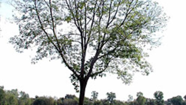 An infest ash tree with 60 percent dieback.