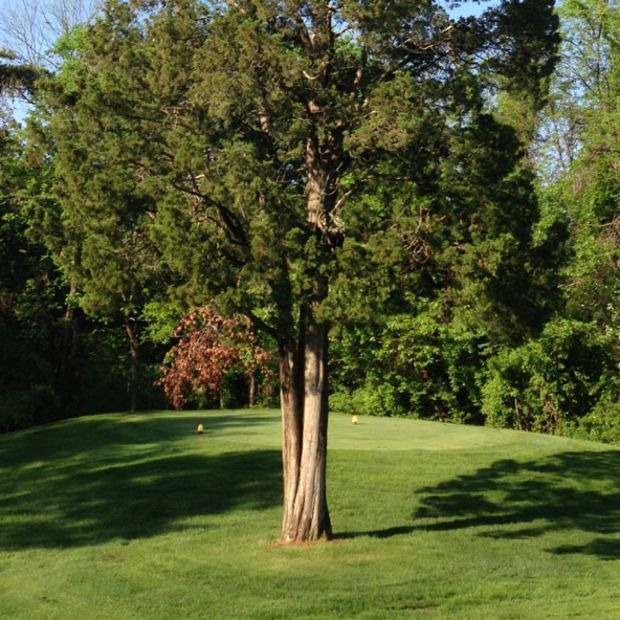 aromatic-eastern-red-cedar-juniperus-virginiana