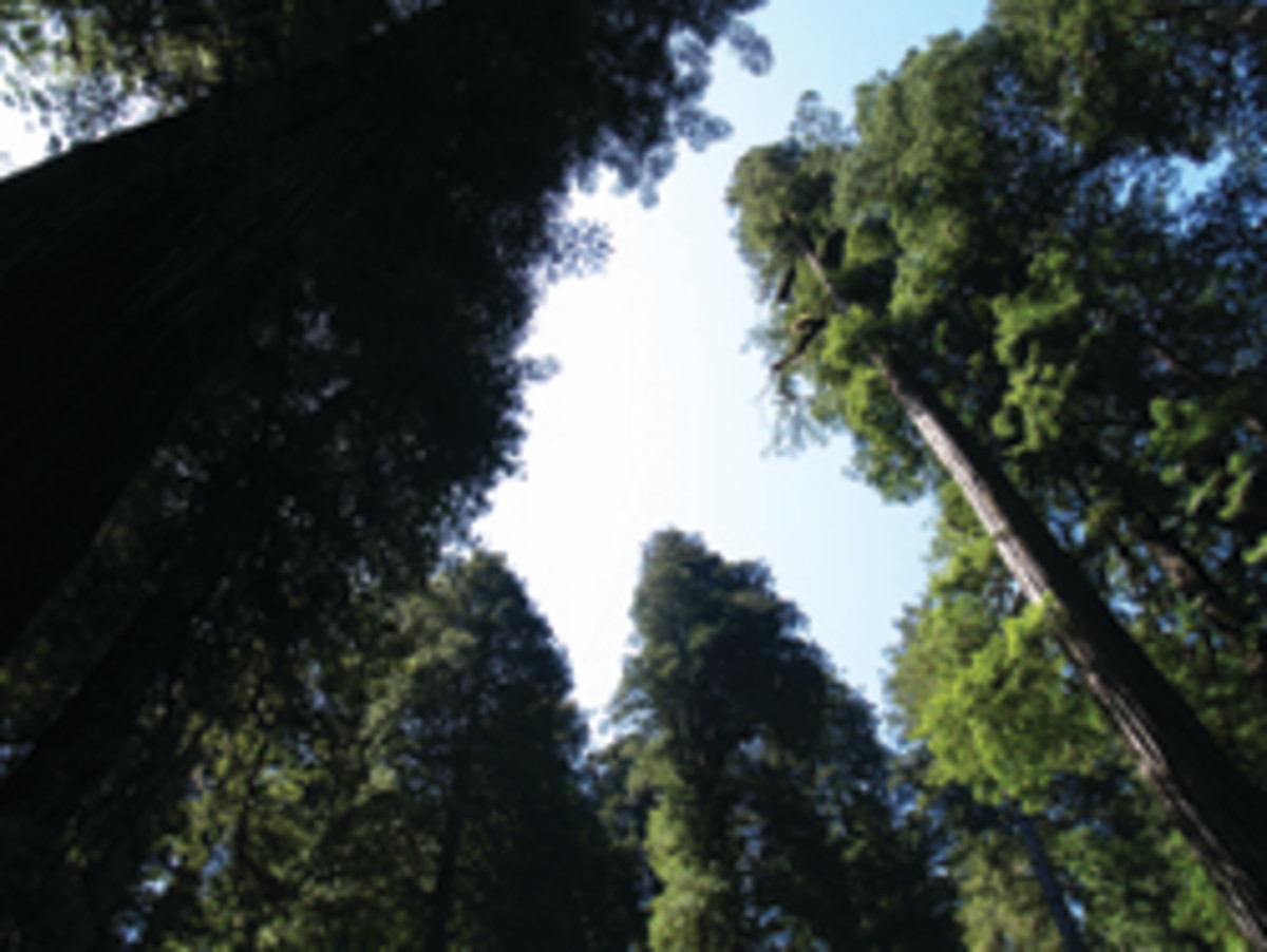 The bases of some of the trees are more than 20 feet in diameter and up to 350 feet tall.