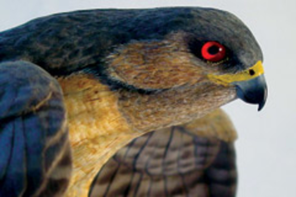 Bird carver Jim Maas' favorite category to work on includes bird of prey, such as this Cooper's hawk.