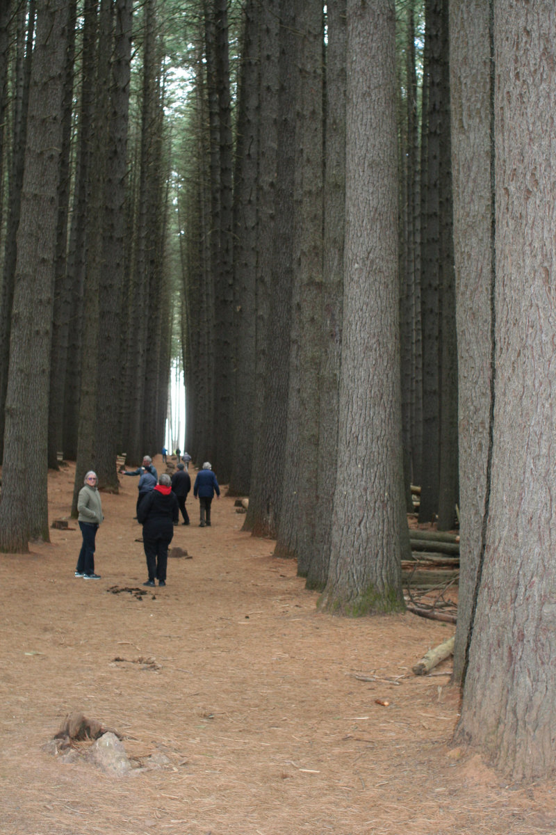 IWCS members tour an experimental forest of conifers near Canberra, Austraiia in 2019